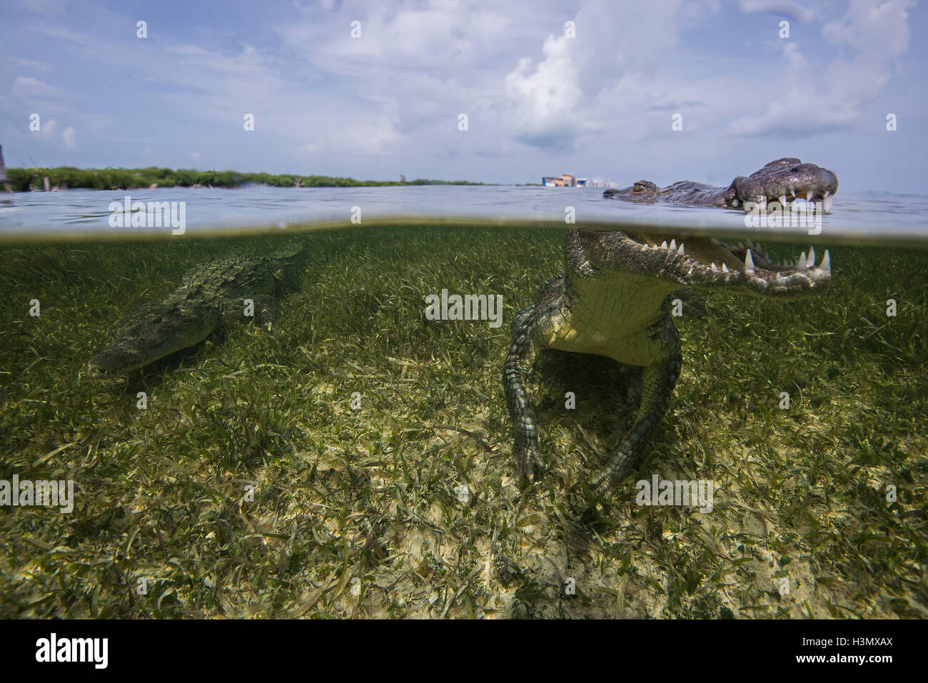 American crocodile (crodoylus acutus) in the shallows of Chinchorro Atoll, Mexico Stock Photo