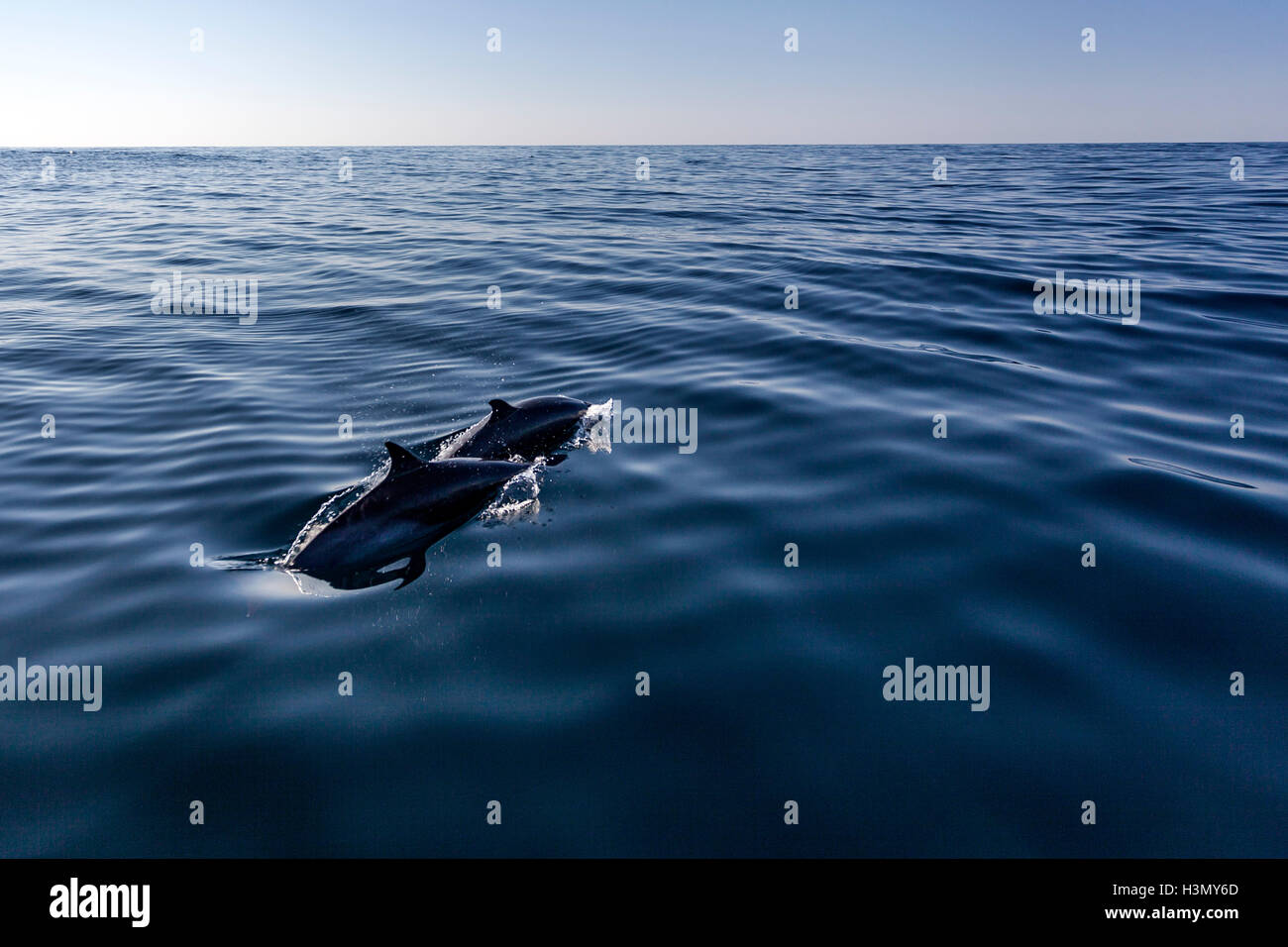 Two Pantropical Dolphin breaching for air, Port St. Johns, South Africa - Stock Image
