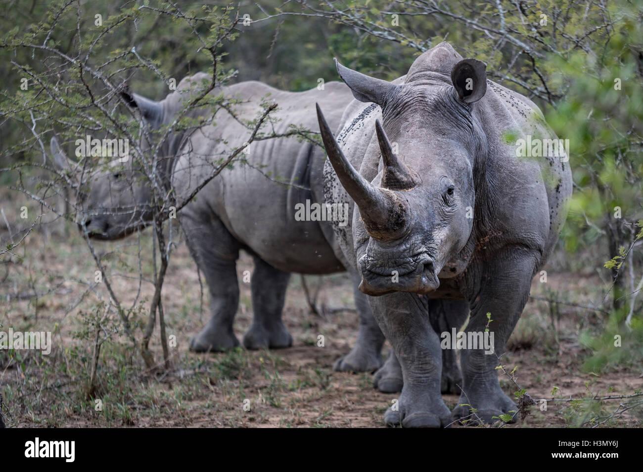 Endangered White Rhino and calf, Hluhluwe-Imfolozi Park, South Africa Stock Photo