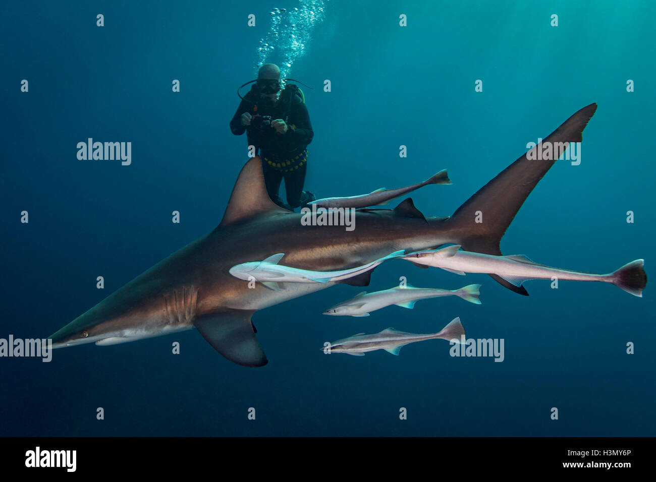 Large Oceanic Blacktip Shark (Carcharhinus Limbatus) circling diver, Aliwal Shoal, South Africa Stock Photo
