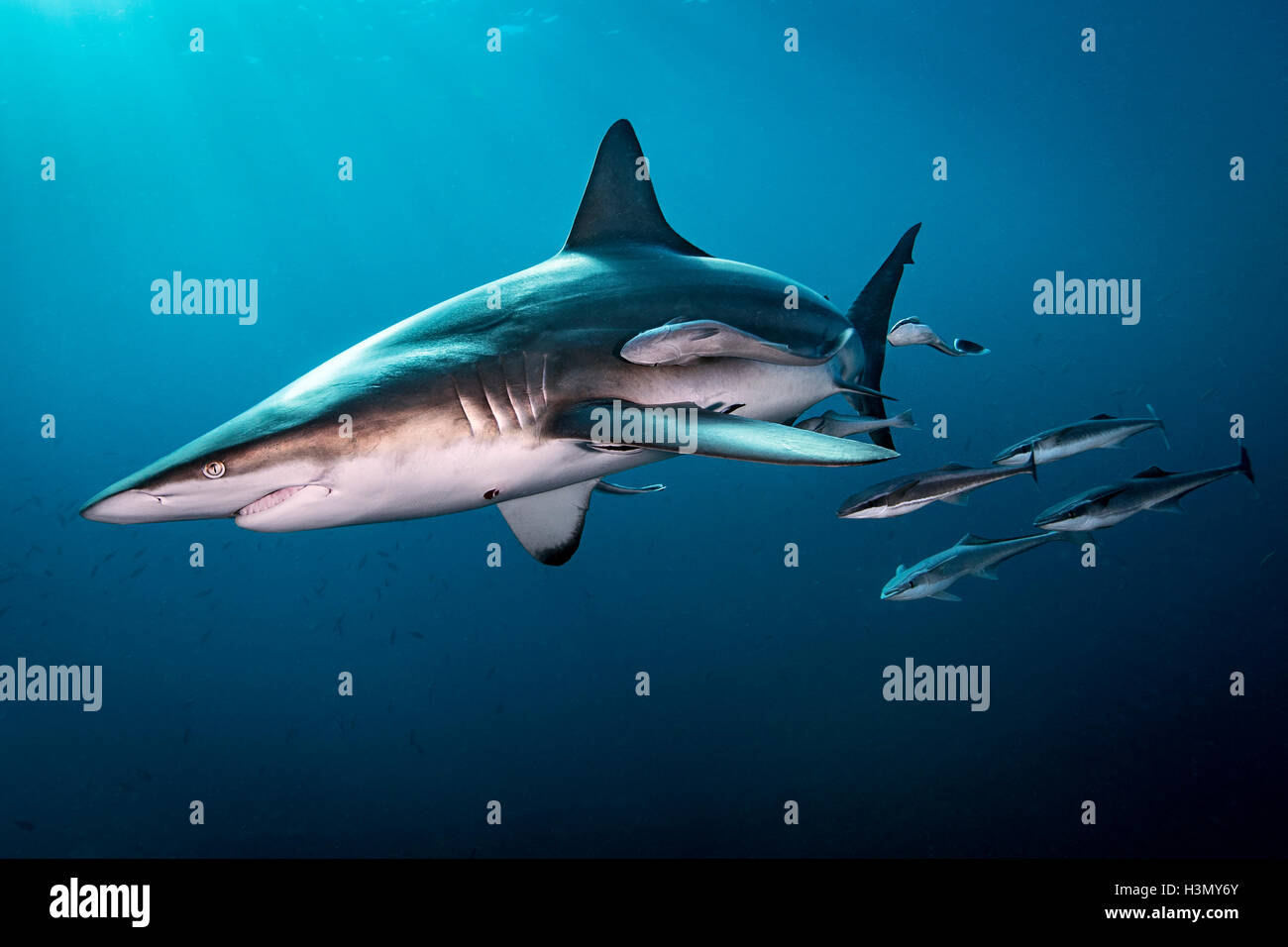 Oceanic Blacktip Shark (Carcharhinus Limbatus) swimming near surface of ocean, Aliwal Shoal, South Africa Stock Photo
