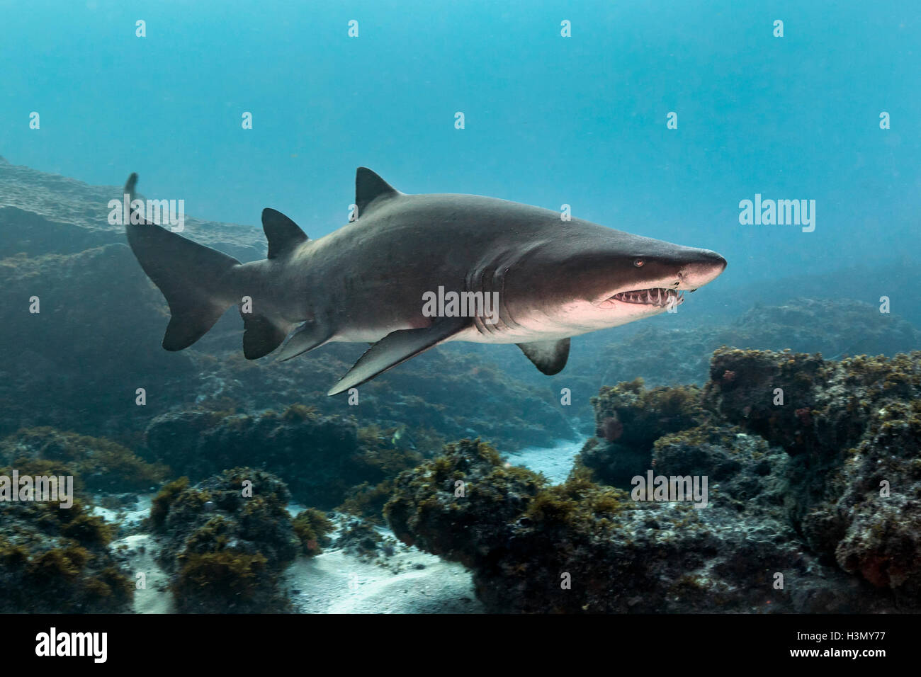 Ragged Tooth or Sand Tiger Shark (Carcharias Taurus) cruising reefs, Aliwal Shoal, South Africa - Stock Image