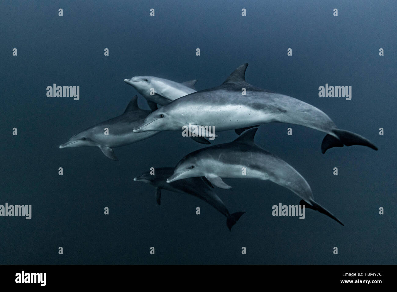 Pod of Common Dolphins hunting, Port St. Johns, South Africa - Stock Image