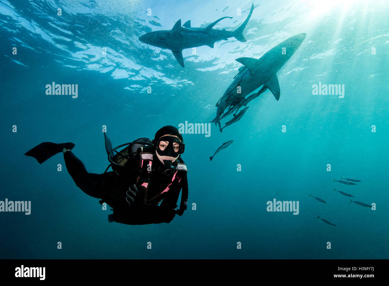 Diver surrounded by Oceanic Blacktip Sharks (Carcharhinus Limbatus) near surface of ocean, Aliwal Shoal, South Africa - Stock Image