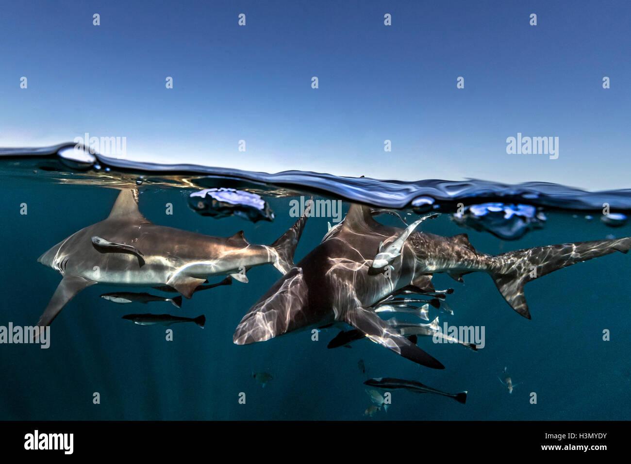 Oceanic Blacktip Sharks (Carcharhinus Limbatus) swimming near surface of ocean, Aliwal Shoal, South Africa Stock Photo