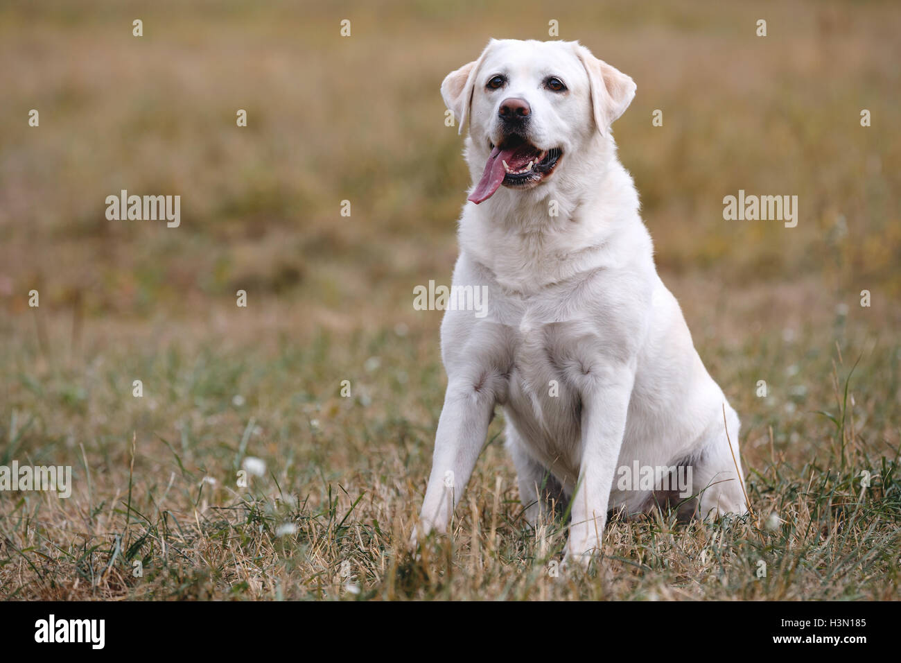 Bright labrador retriever sitting on the autumn meadow - Stock Image