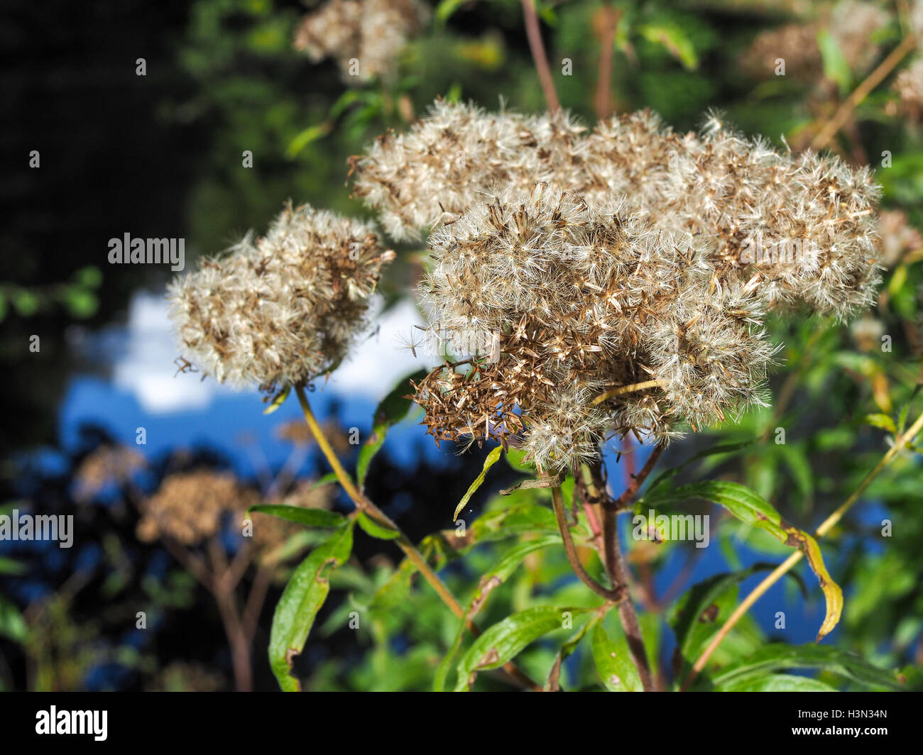 Old Man's Beard or Traveller's Joy (Clematis vitalba) - Stock Image