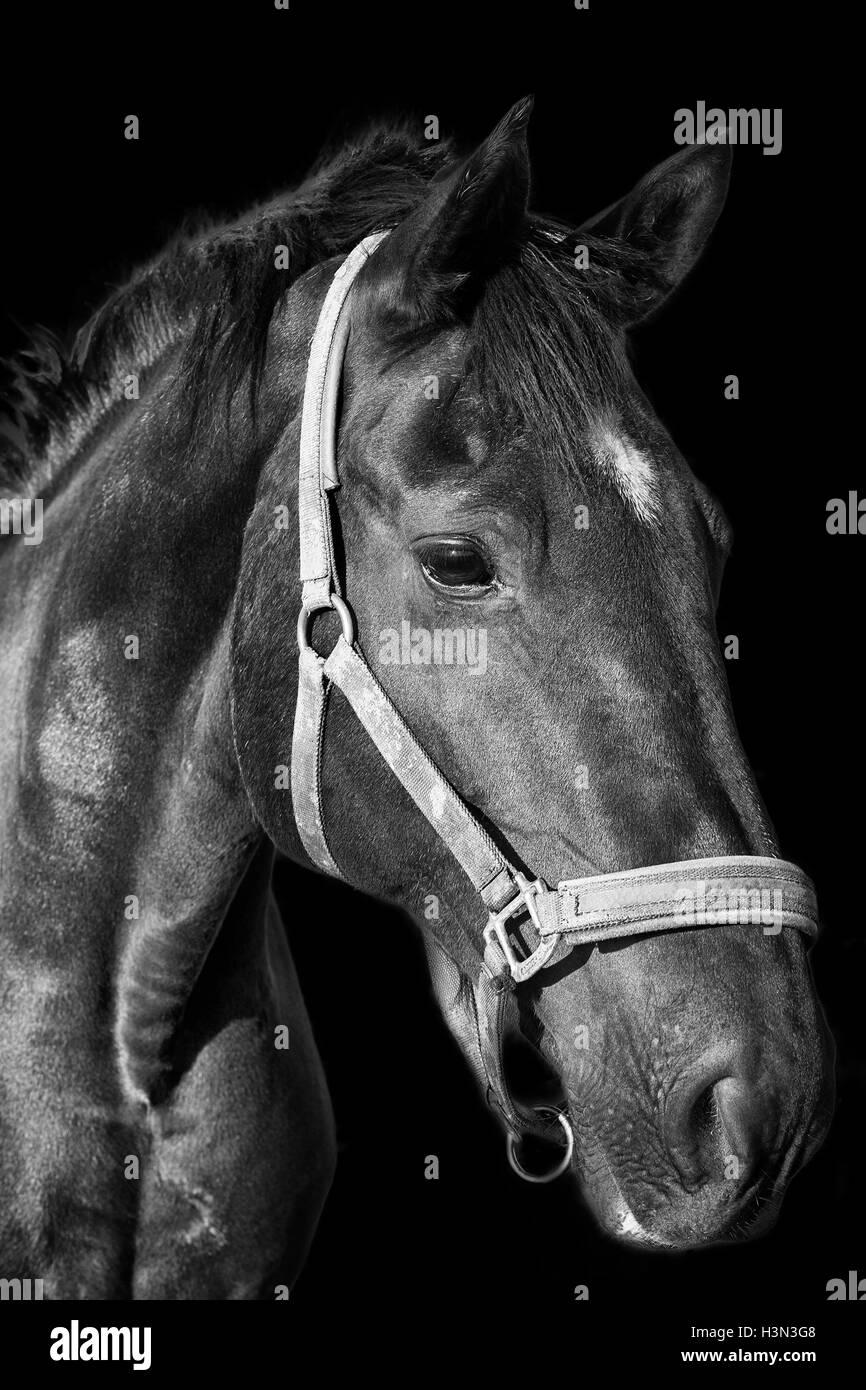 Black horse portrait on the dark background - Stock Image