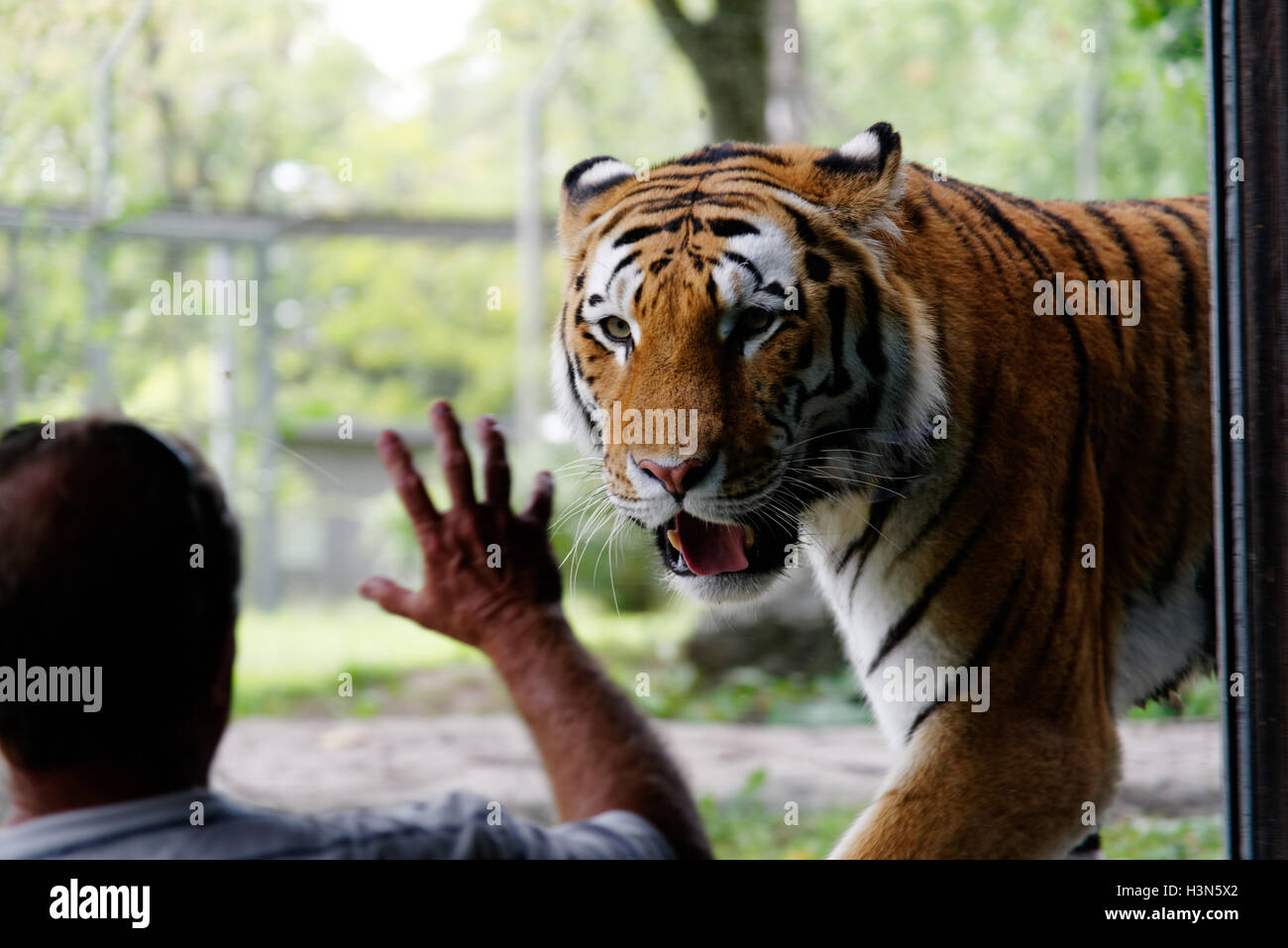 A man looking at the Siberian Tiger in Granby Zoo, Quebec, Canada - Stock Image