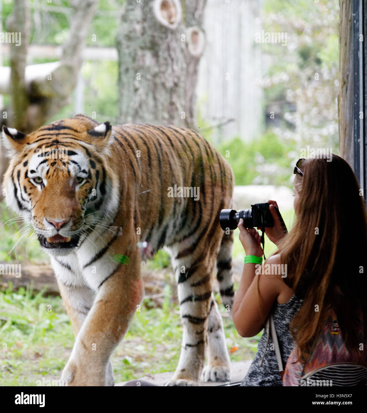 A woman taking a photo of the Siberian tiger in Granby Zoo, Quebec, Canada Stock Photo