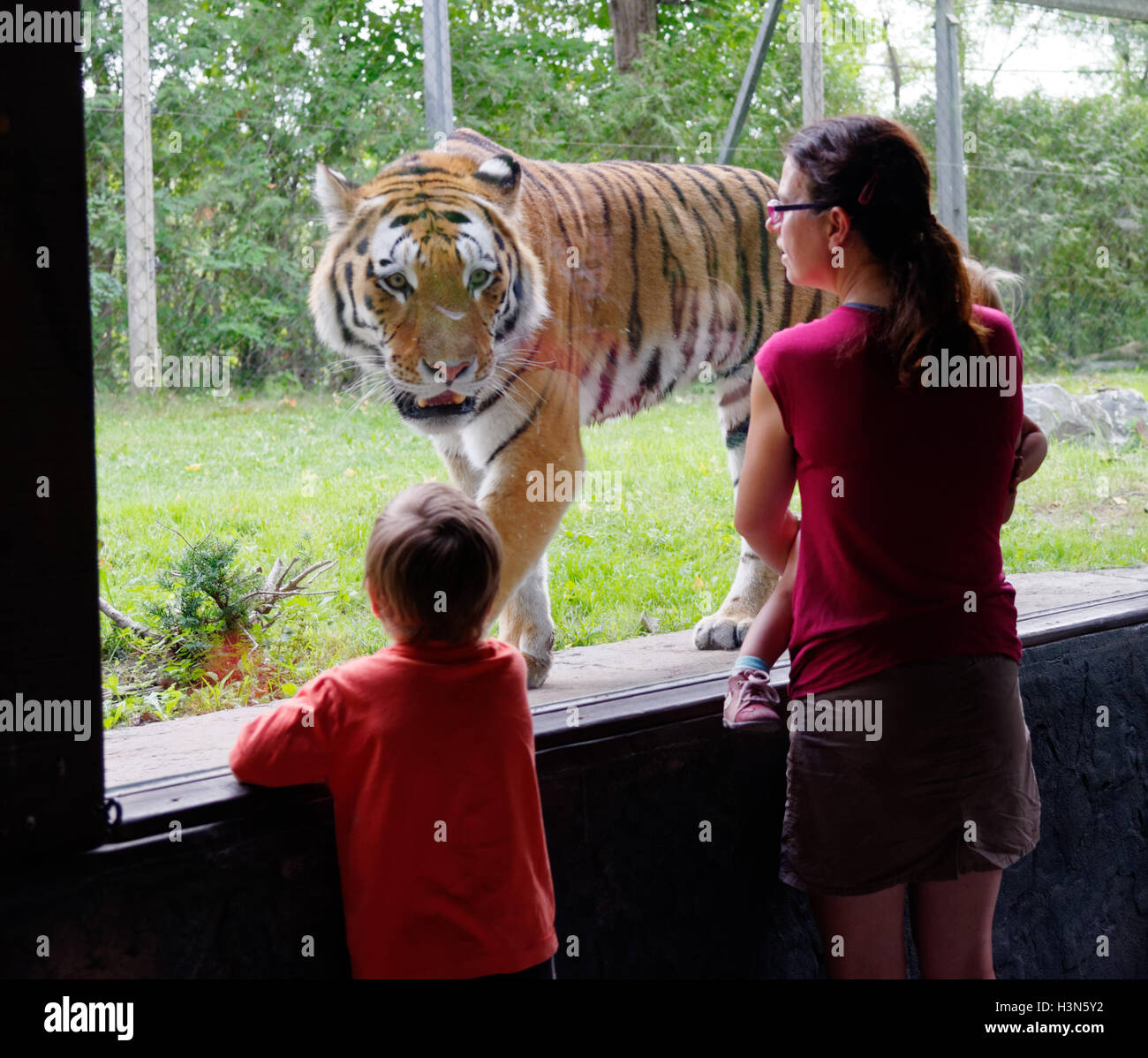 The Siberian tiger in Granby Zoo looking at people behind the glass, Quebec, Canada - Stock Image
