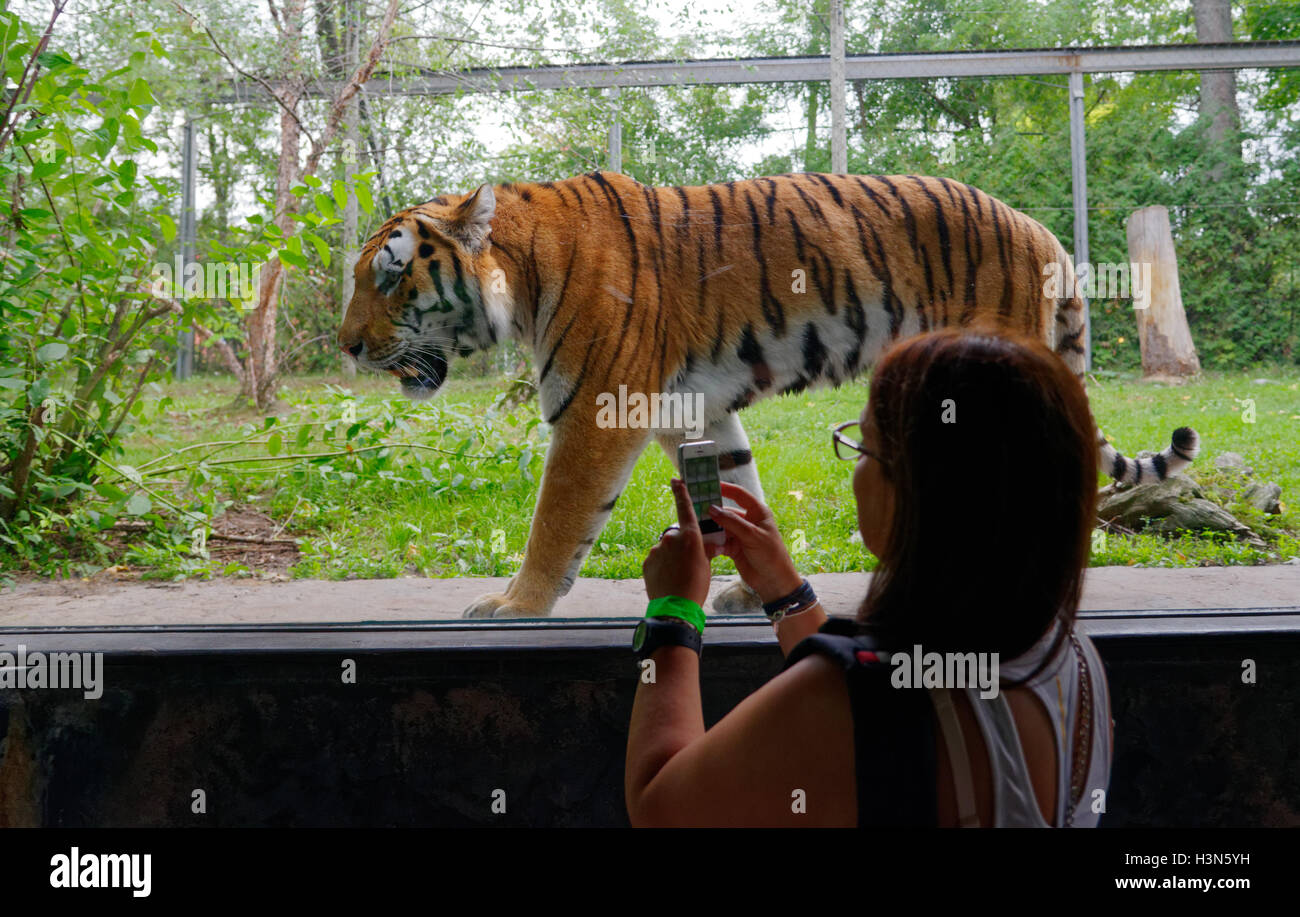 A woman taking a photo of the Siberian tiger with a cellphone in Granby Zoo, Quebec, Canada - Stock Image