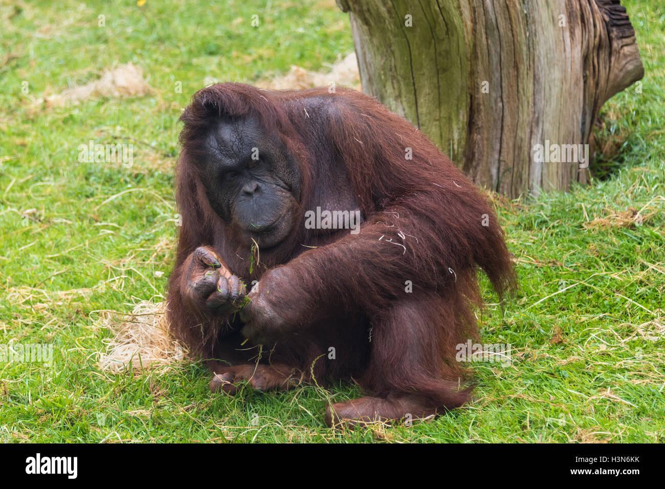 Adult female Bornean orang utan - Stock Image