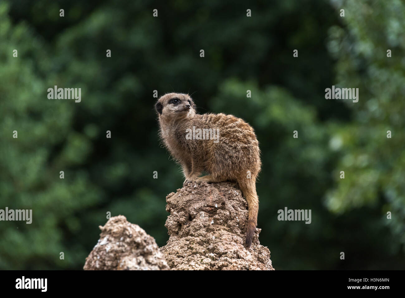 Meerkat looking out - Stock Image