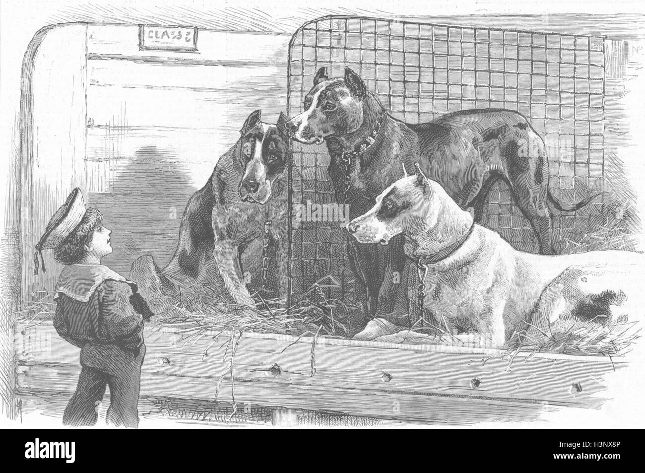 DOGS At a dog show-big danes & little Englishman 1887. The Graphic - Stock Image