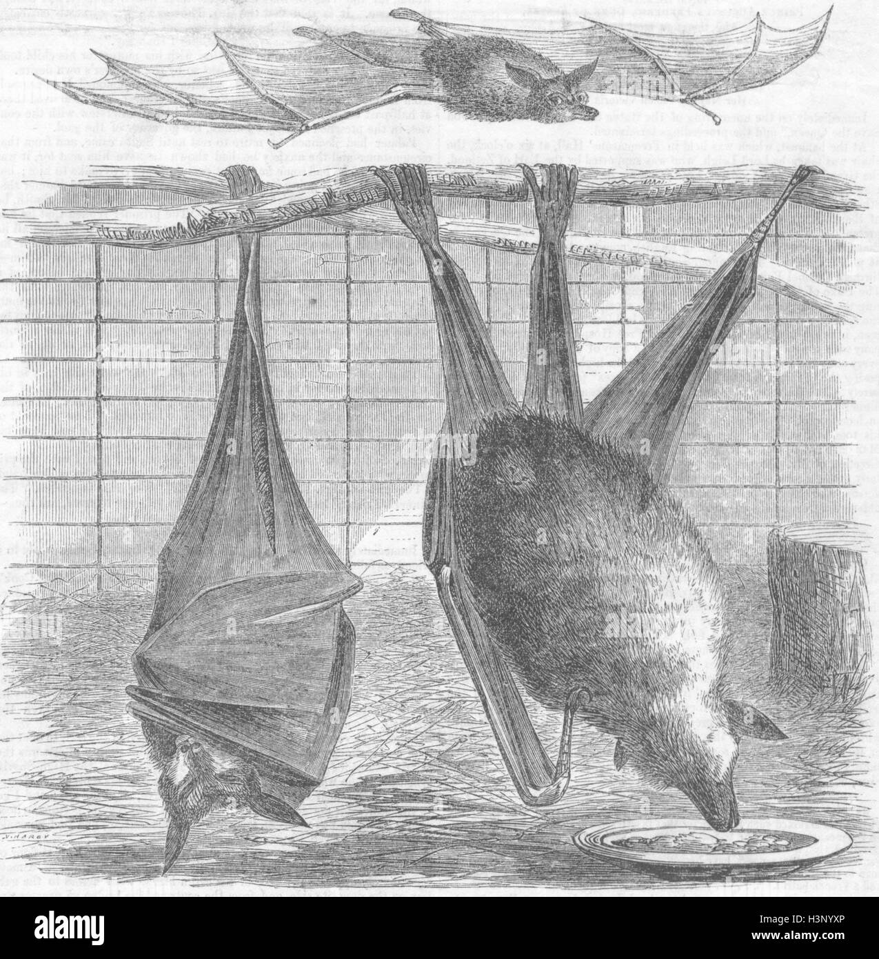BATS Flying-Foxes, Gdns of zoo, Regent's Park 1856. Illustrated Times Stock Photo