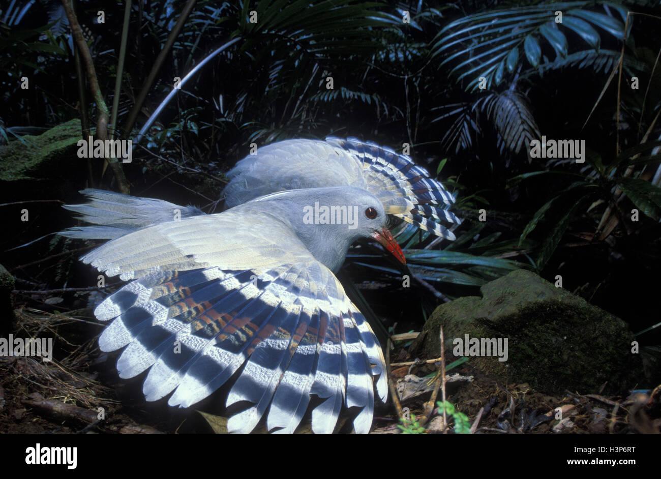 Kagu (Rhynochetos jubatus) - Stock Image