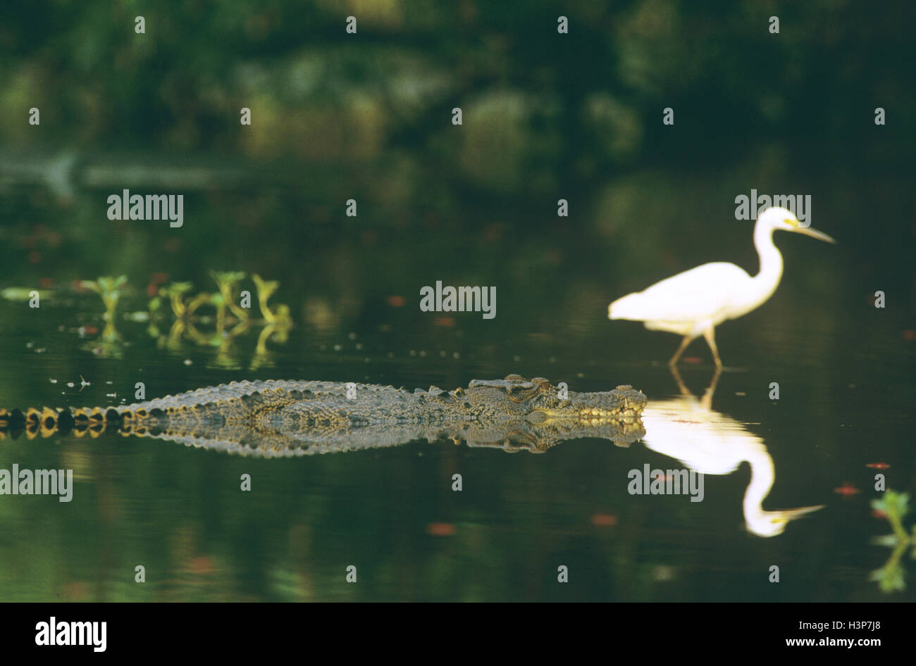 Estuarine crocodile (Crocodylus porosus) - Stock Image