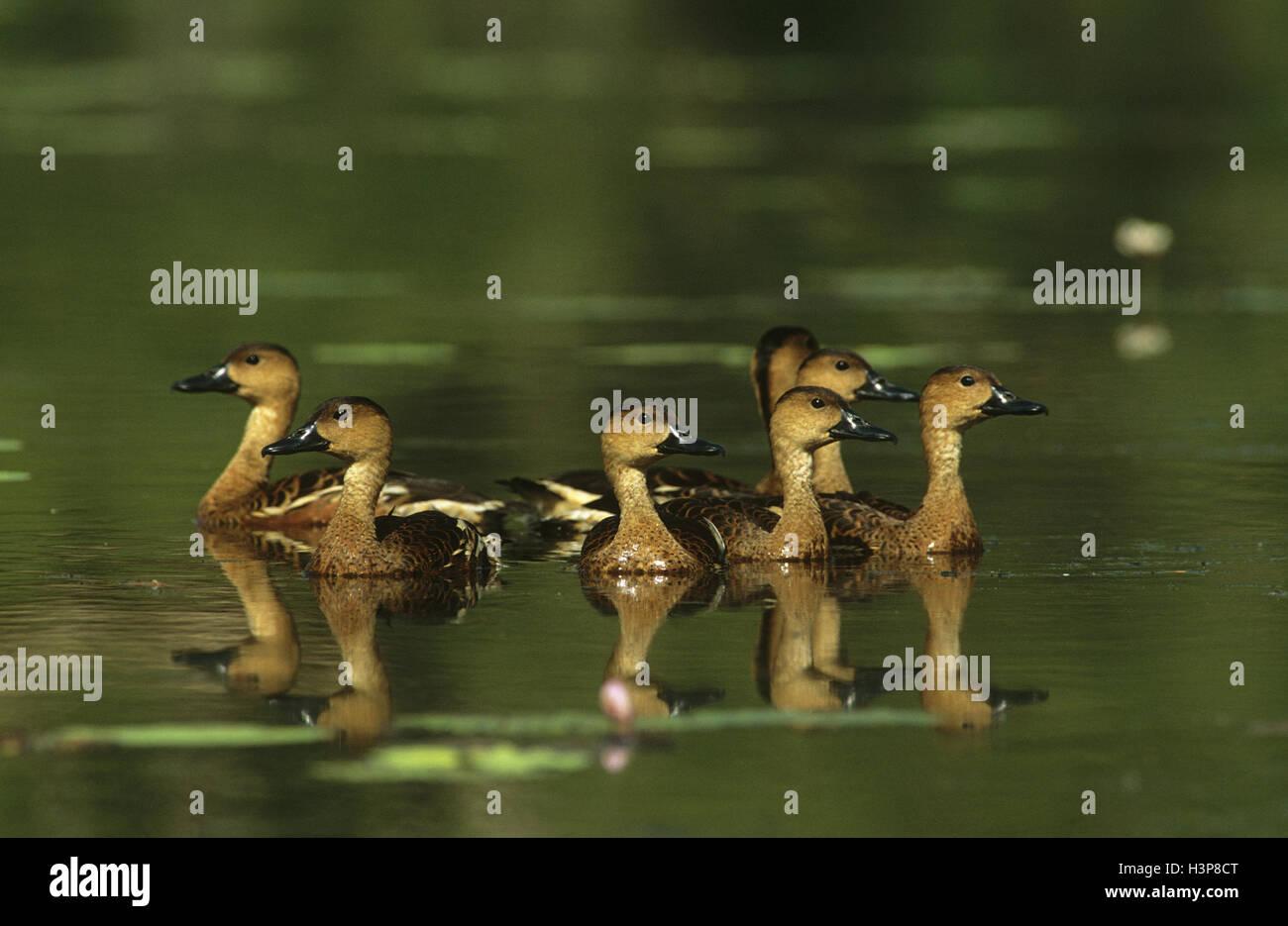 Wandering whistling-duck (Dendrocygna arcuata) Stock Photo