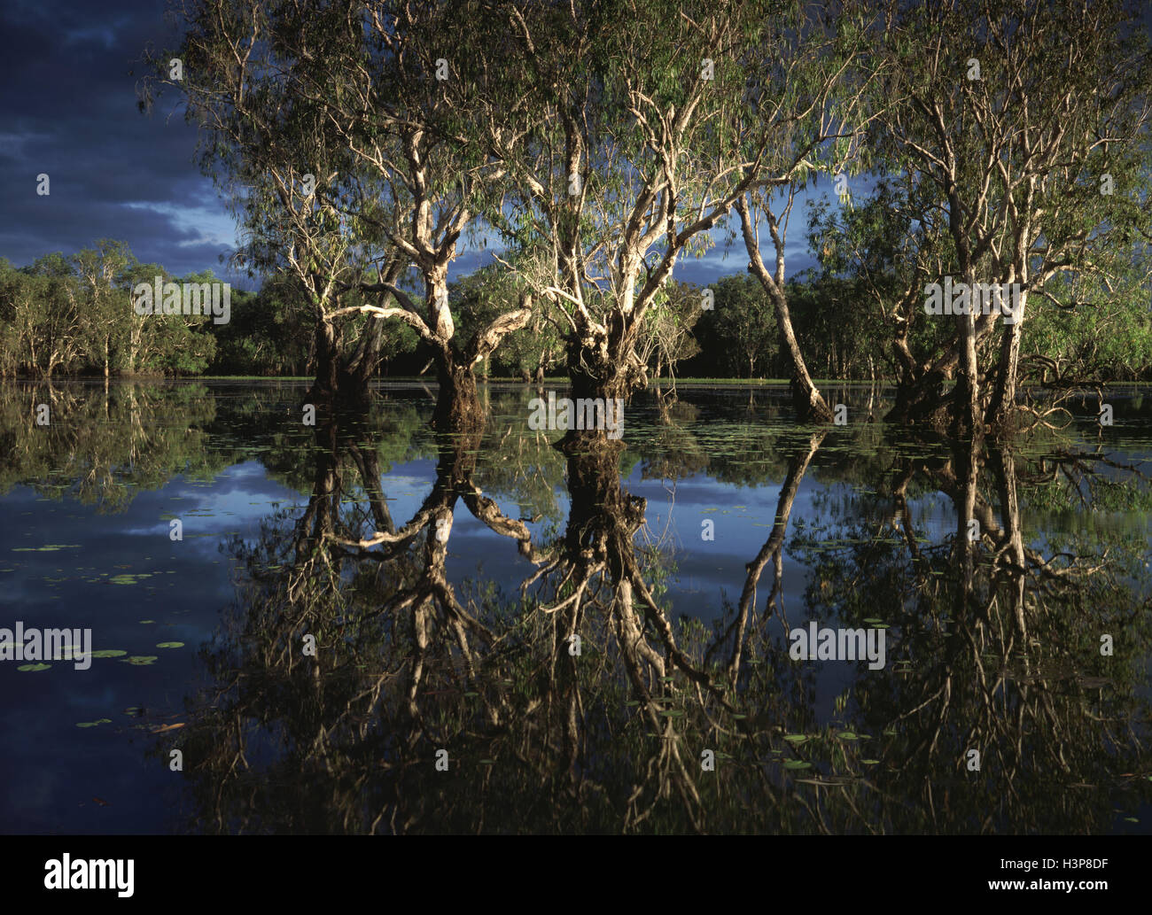 Yellow Water billabong with Paperbark forest, - Stock Image