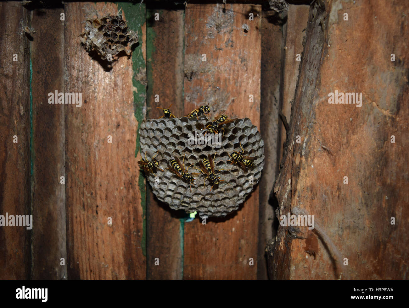 Wasp nest with wasps sitting on it. Wasps polist. The nest of a family of wasps which is taken a close-up. Stock Photo