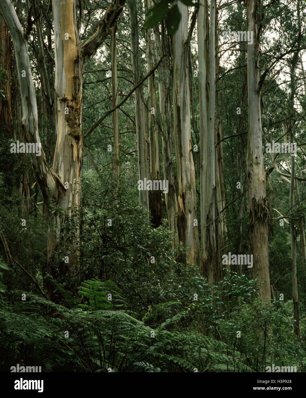 Mountain ash (Eucalyptus regnans) - Stock Image