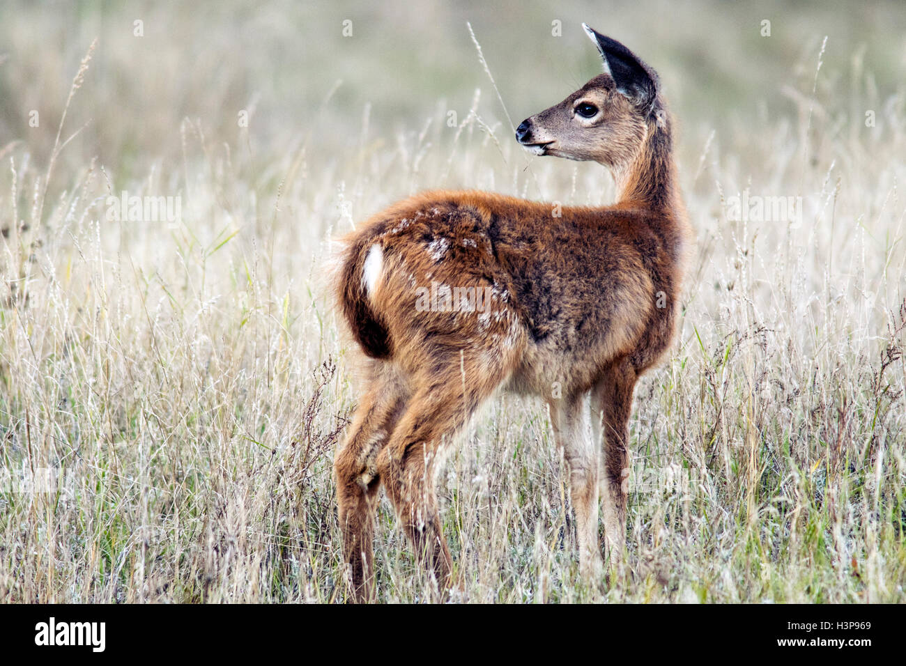 Black-tailed Deer - Rathtrevor Beach Provincial Park - Parksville, Vancouver Island, British Columbia, Canada - Stock Image