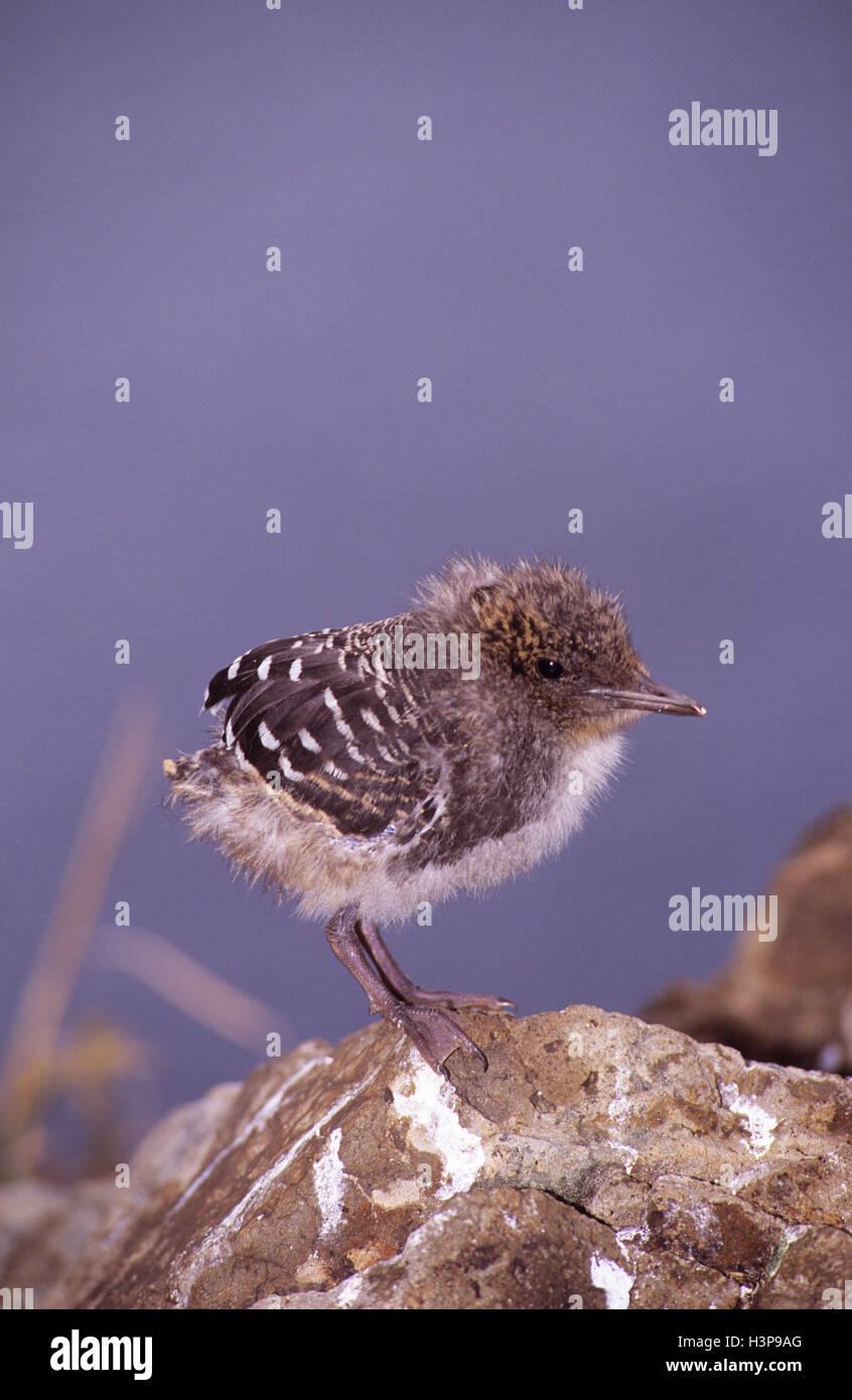 Sooty tern (Sterna fuscata) - Stock Image