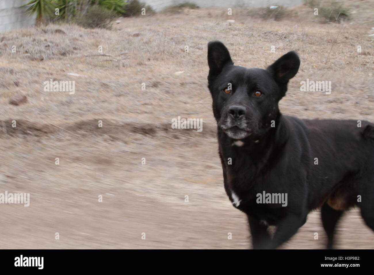 Black dog chasing us - Stock Image