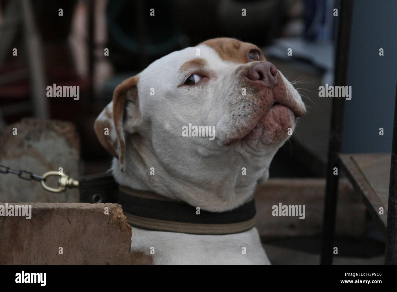 Pictures of a Pitbull in Baja California Mexico, city of rosarito - Stock Image