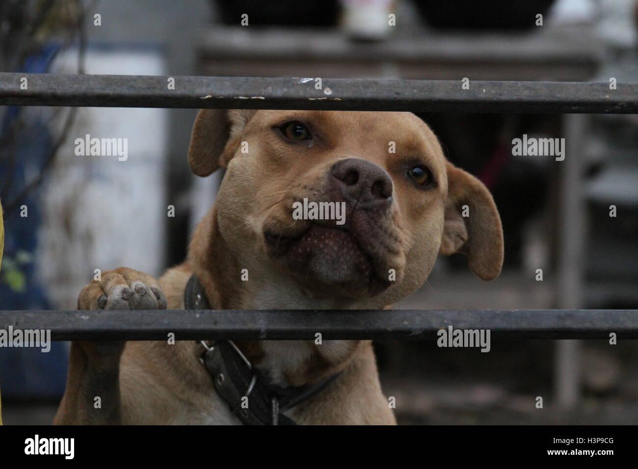 Pictures of a Pitbull in Baja California Mexico, city of rosarito - Stock Image