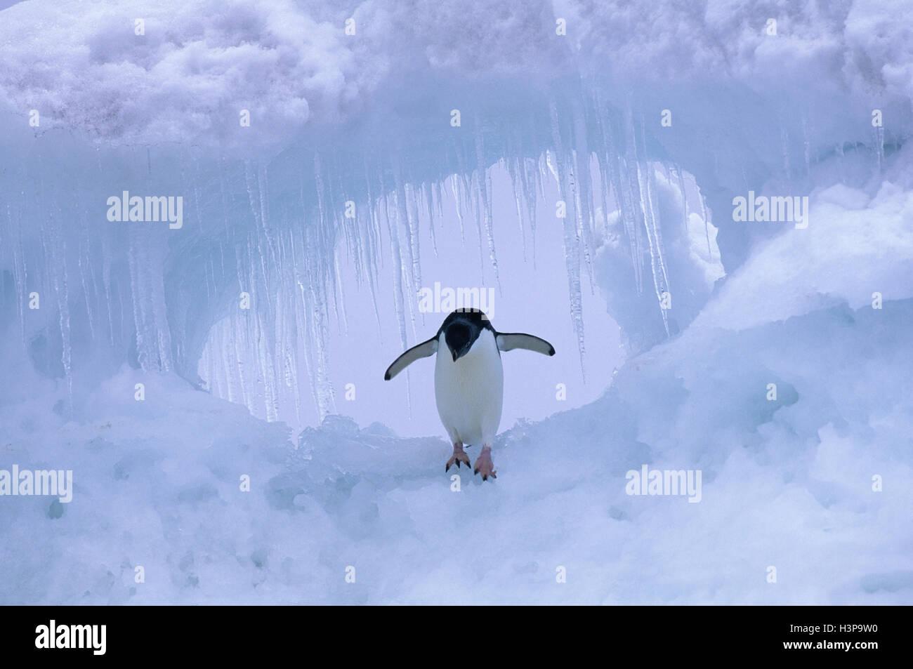 Adelie penguin (Pygoscelis adeliae) - Stock Image