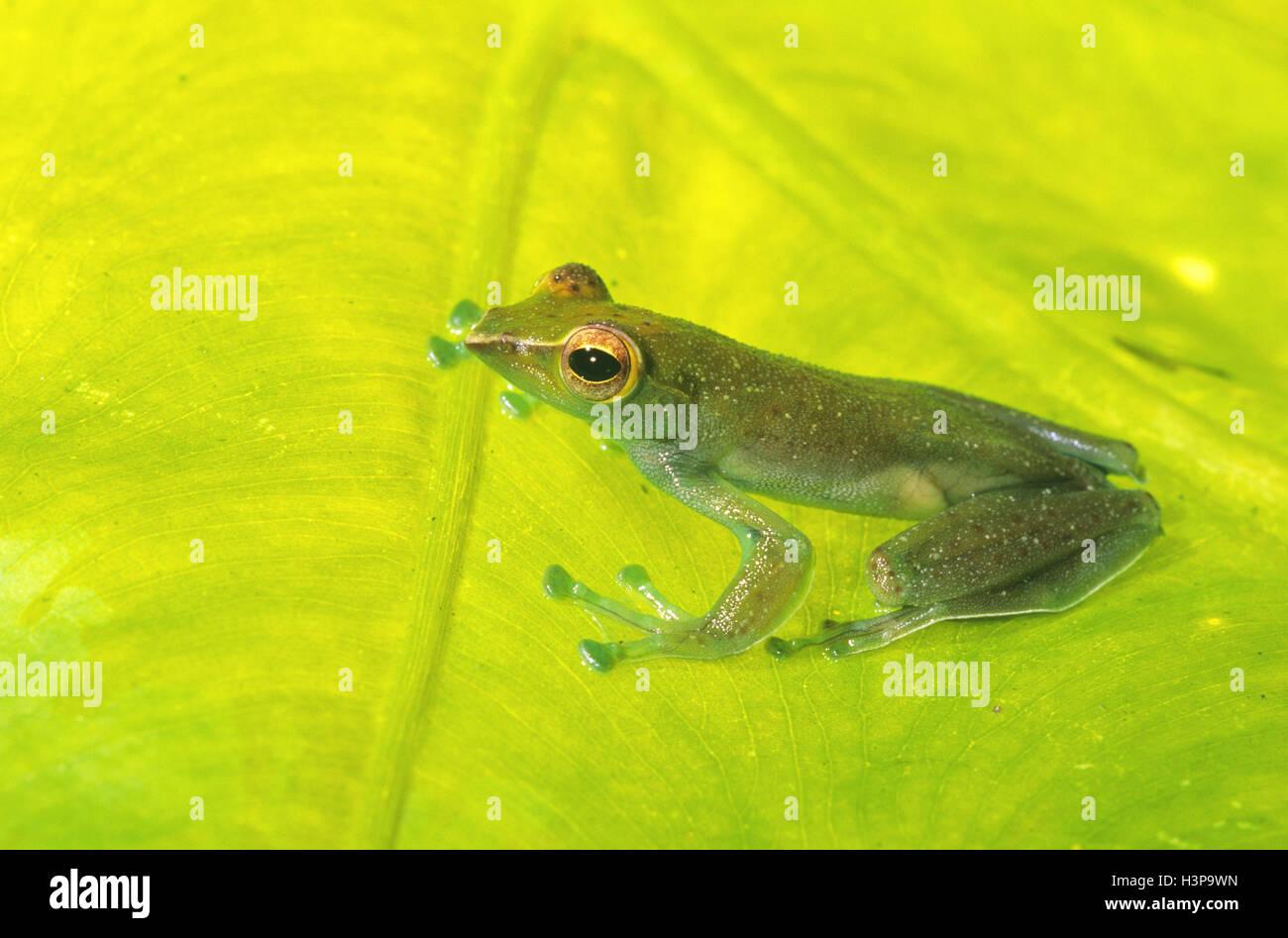 Jade tree frog (Rhacophorus dulitensis) - Stock Image