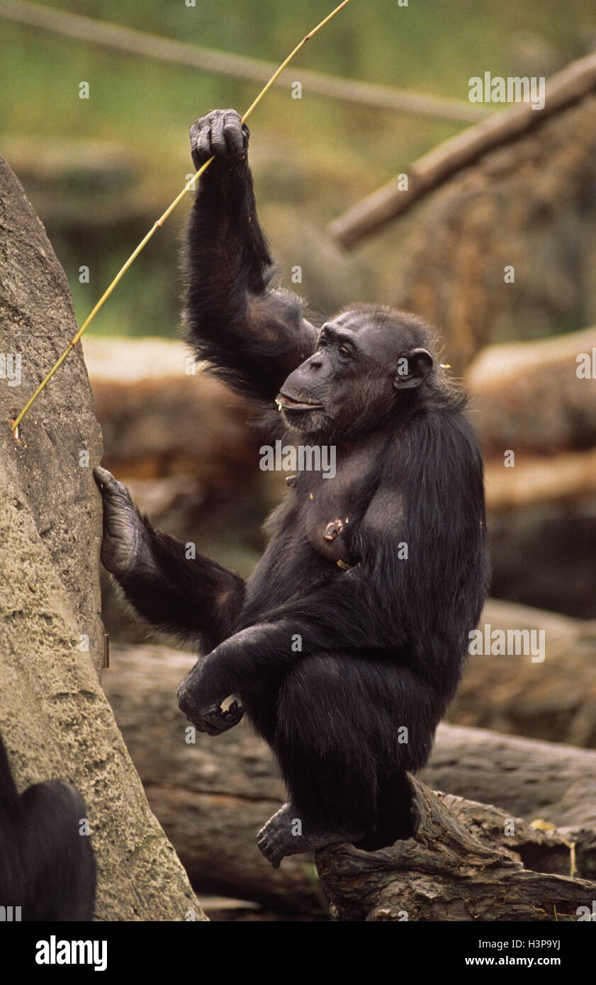 Common chimpanzee (Pan troglodytes), using stick to extract food from tree trunk. Captive animal. - Stock Image