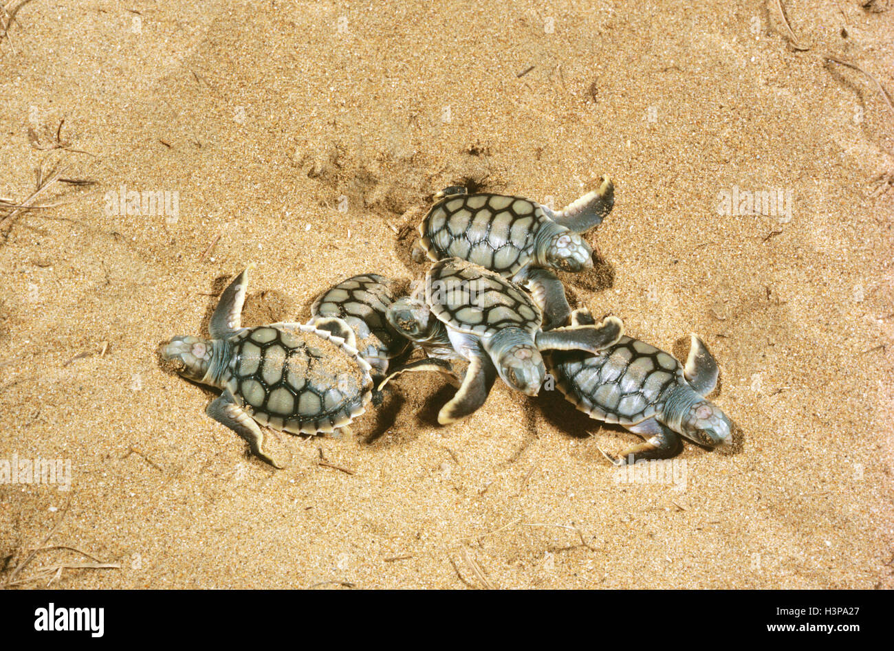 Flatback turtle (Natator depressus), hatchlings emerging from burrow. - Stock Image