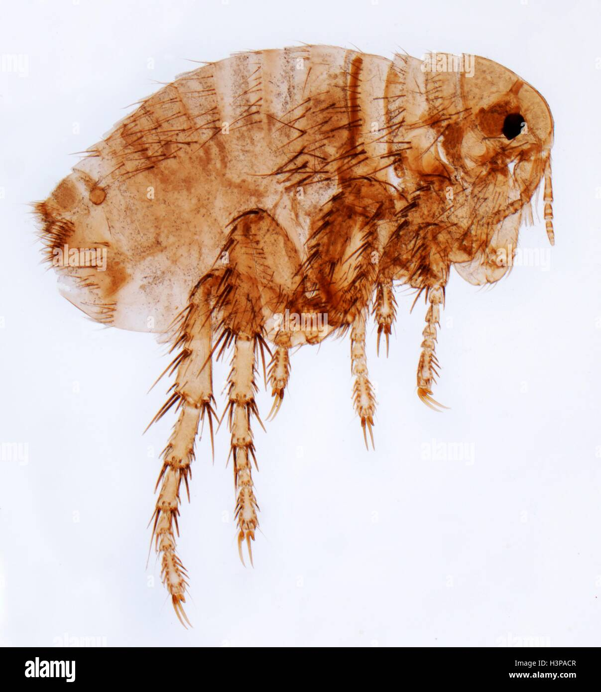 Human flea. Light micrograph (LM) of a female human flea (Pulex irratans). Fleas are wingless and flattened from - Stock Image