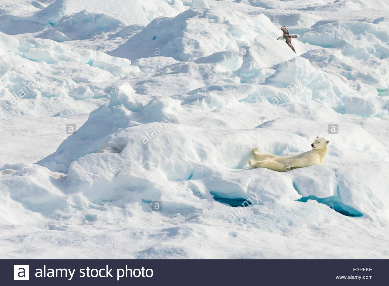 A laid back polar bear (Ursus maritimus) resting on an ice floe in the Canadian Arctic. - Stock Image