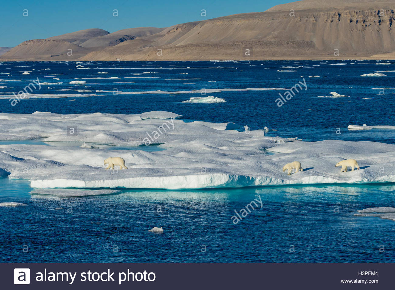 Mother and cubs, polar bears (Ursus maritimus) wandering across the ice floes in the Canadian Arctic. Stock Photo