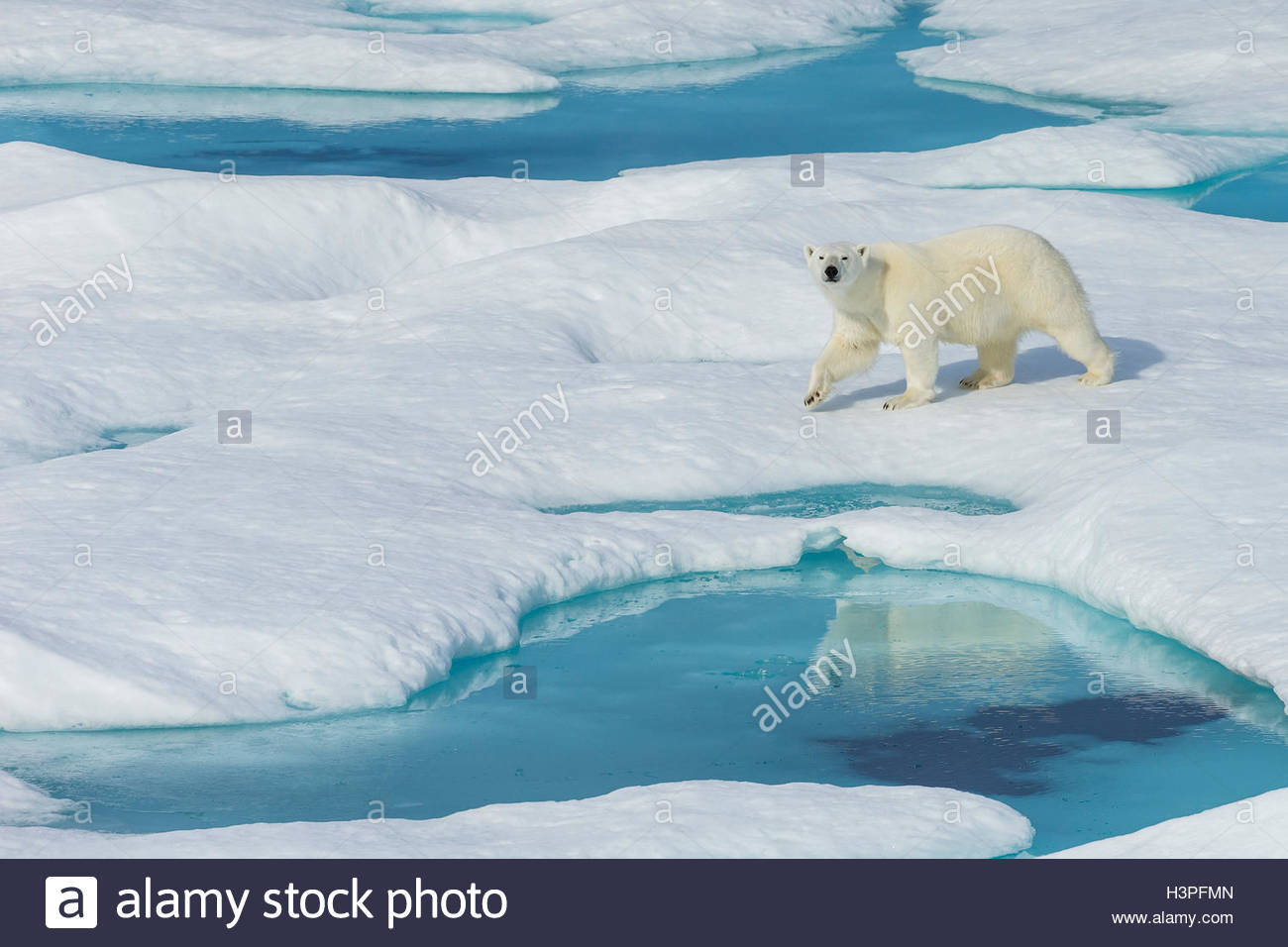A polar bear (Ursus maritimus) wanders past pools of water on an ice floe in the Canadian Arctic. - Stock Image