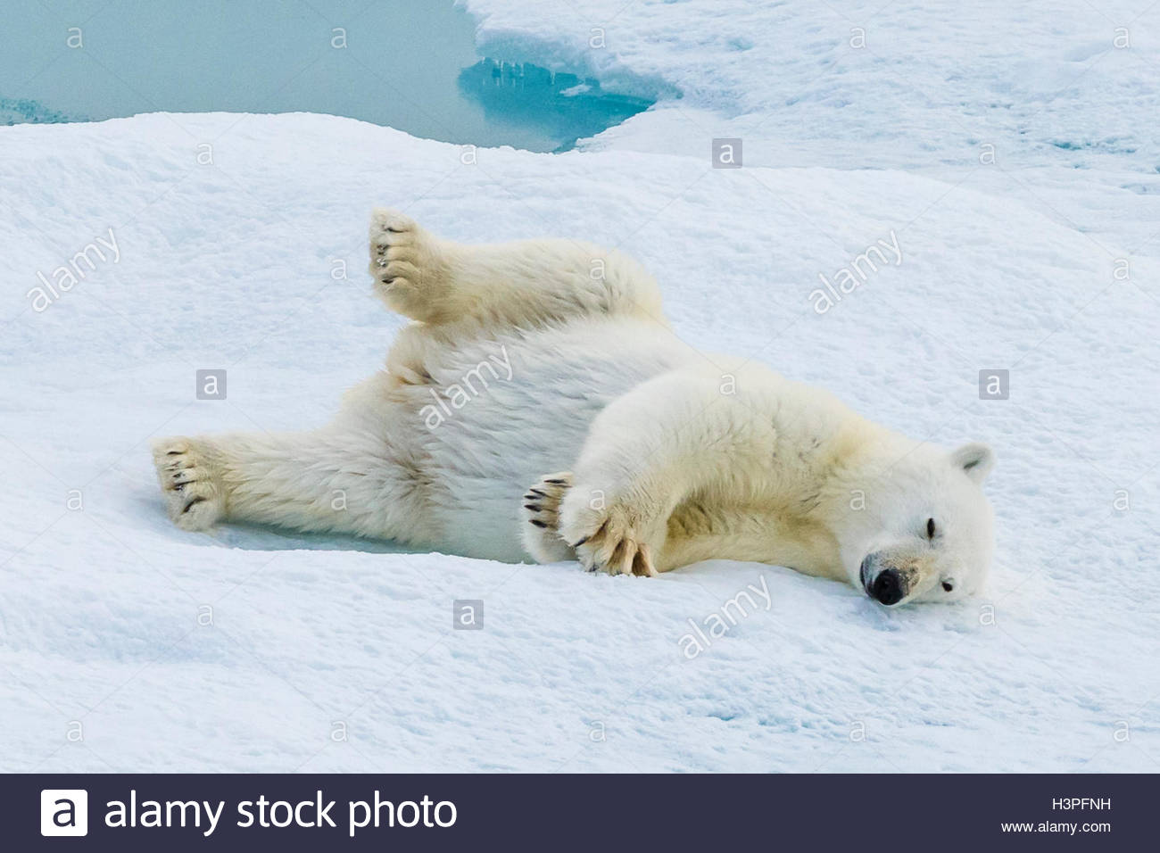 Playful behavior, a young polar bear cub (Ursus maritimus) on an ice floe in the Canadian Arctic. - Stock Image