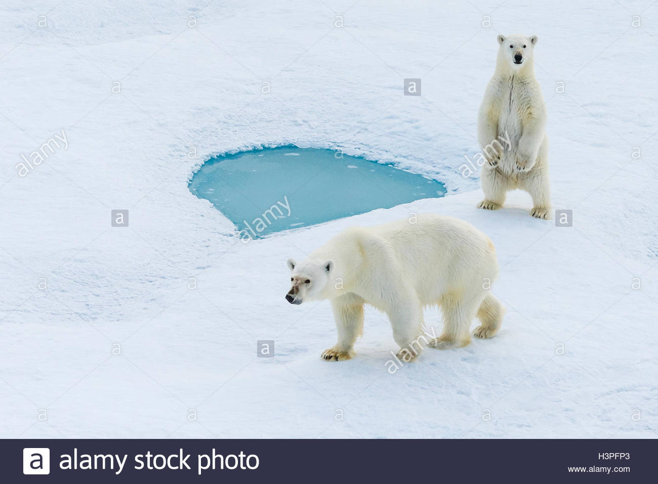 A standing polar bear cub and its mother (Ursus maritimus) wander across pack ice in the Canadian Arctic. - Stock Image