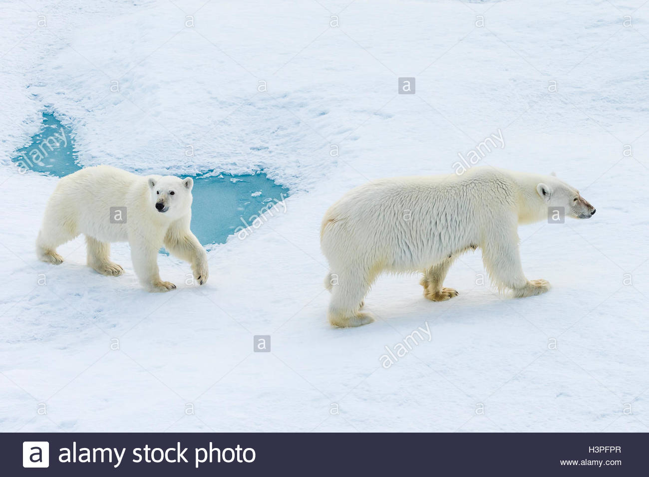 A polar bear cub and its mother (Ursus maritimus) wander across pack ice in the Canadian Arctic. Stock Photo