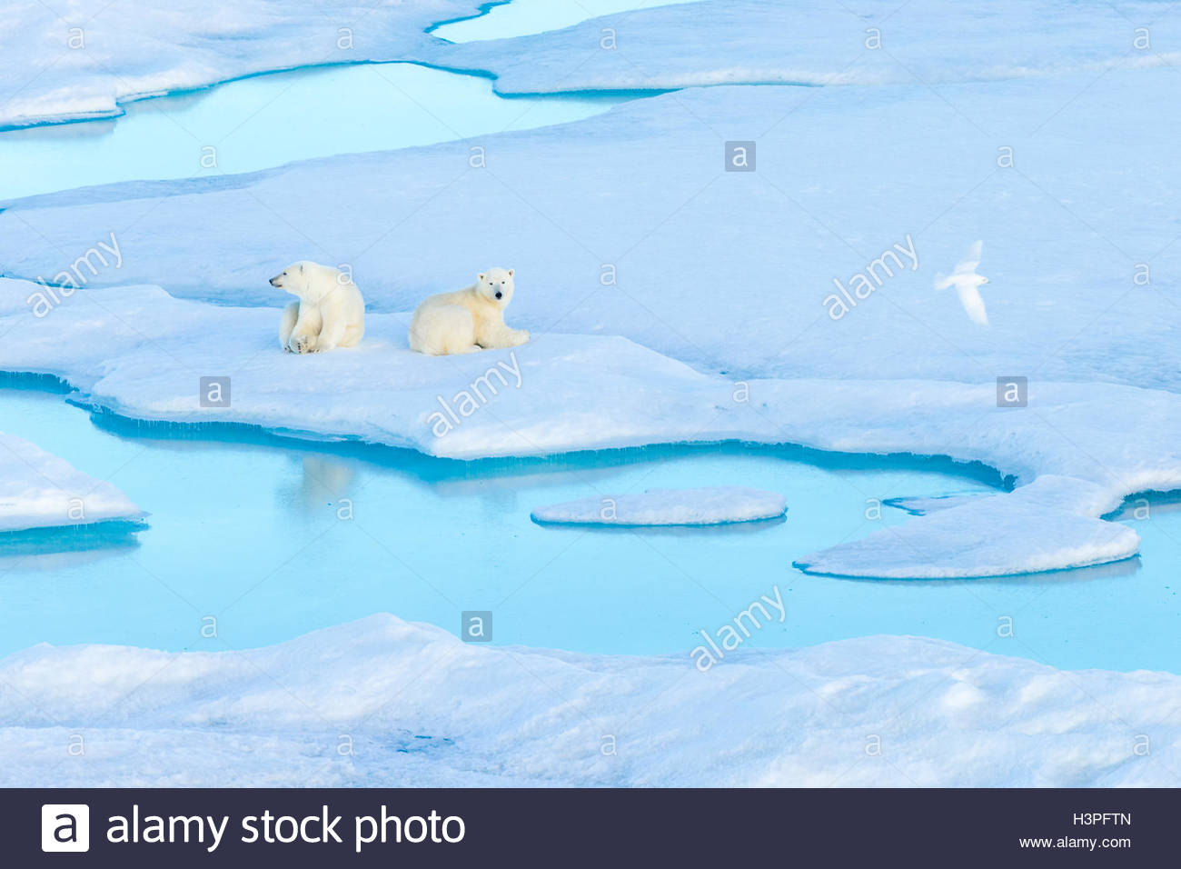 Resting polar bear cubs (Ursus maritimus) on an ice floe while an Ivory Gull flies by, Polar Bear Pass in Lancaster - Stock Image
