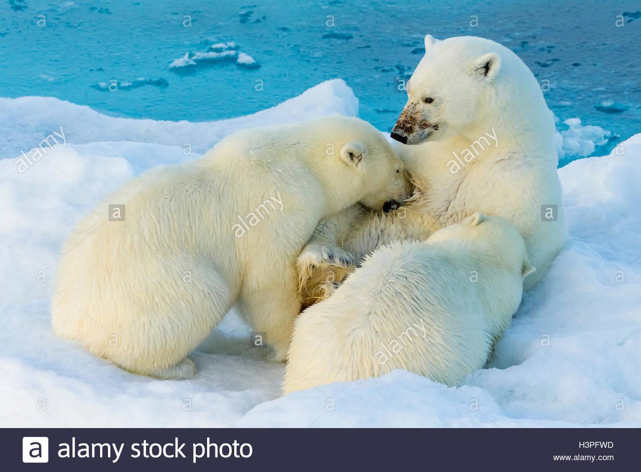 Mother polar bear nursing two cubs, 2nd year, Polar Bear Pass, Lancaster Sound, Nunavut. - Stock Image