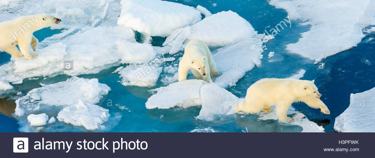 Crossing pack ice, mother polar bear with two cubs (Ursus maritimus), Polar Bear Pass in Lancaster Sound. - Stock Image