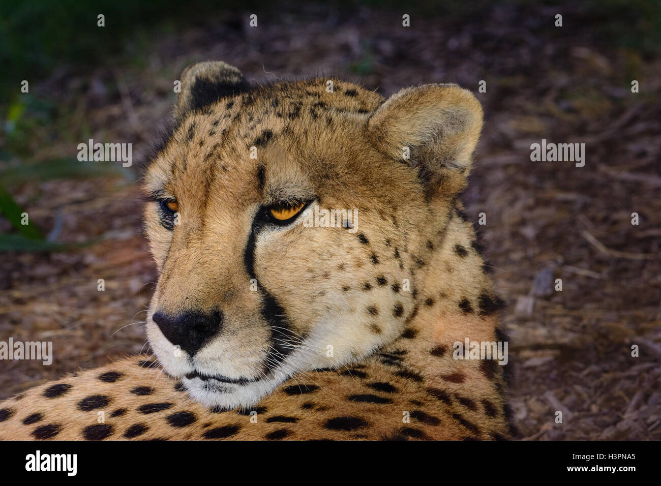 Cheetah  (Acinonyx jubatus) relaxing in the shade, laying down with his head raised and looking behind him. - Stock Image