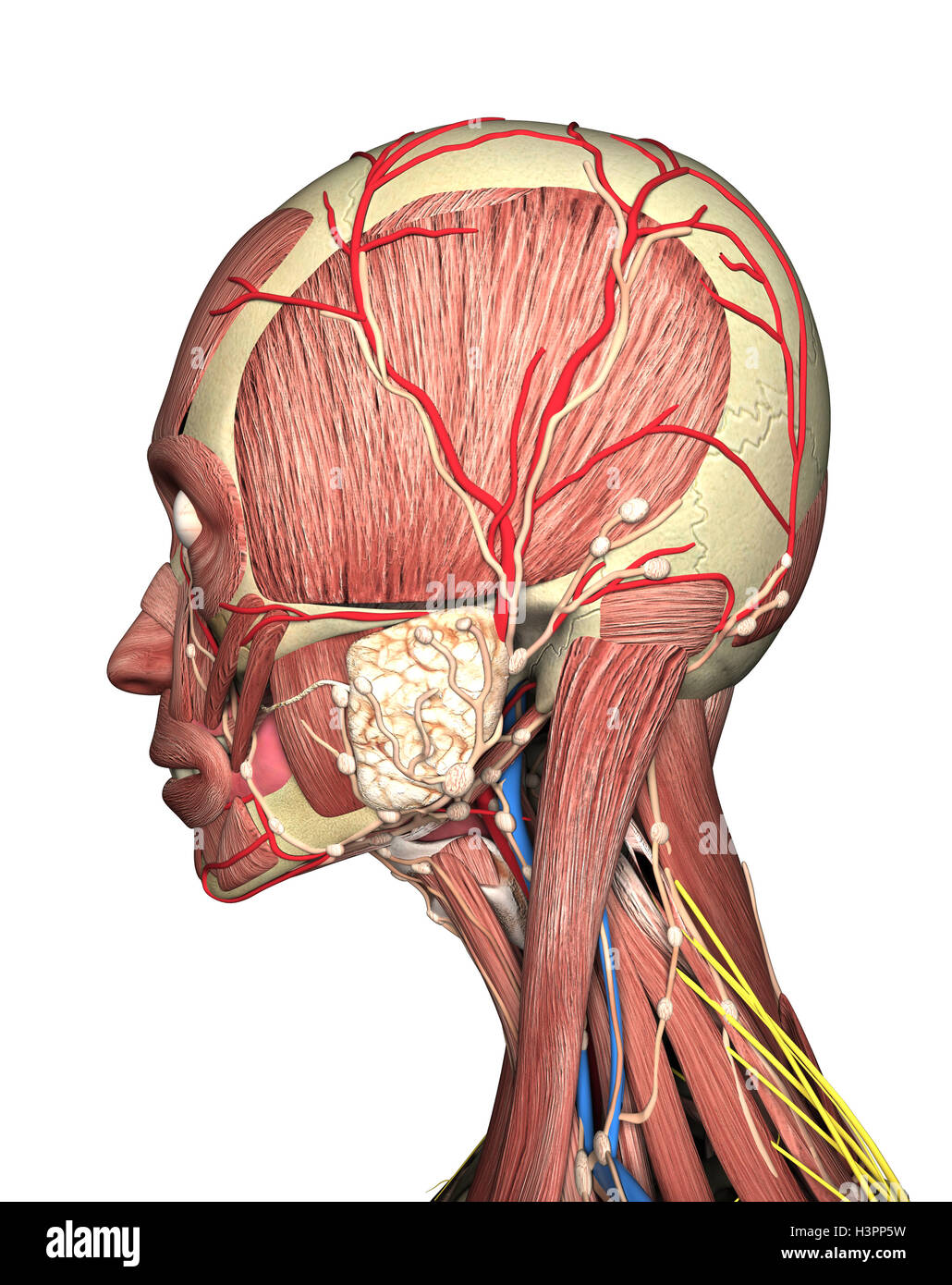 anatomy of head side view. 3D rendering Stock Photo: 122816901 - Alamy