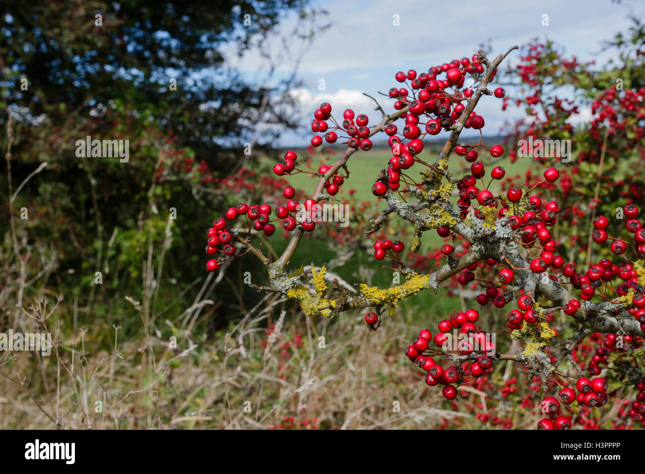 Hawthorn tree with berries and lichen covered branches, East Sussex countryside, England, UK - Stock Image