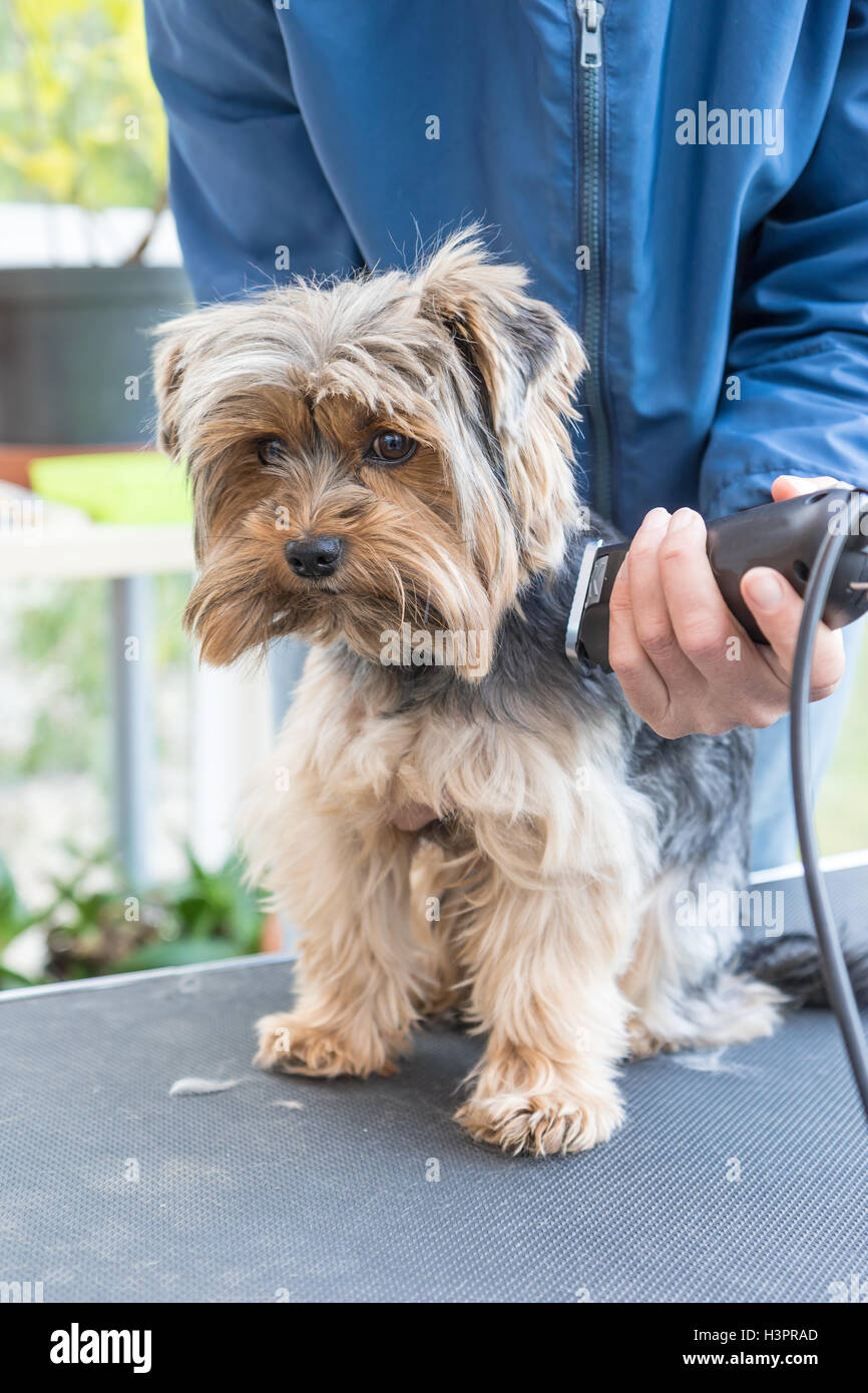 Groomer Is Cutting Yorkshire Terrier By Electric Razor Dog Is Stock