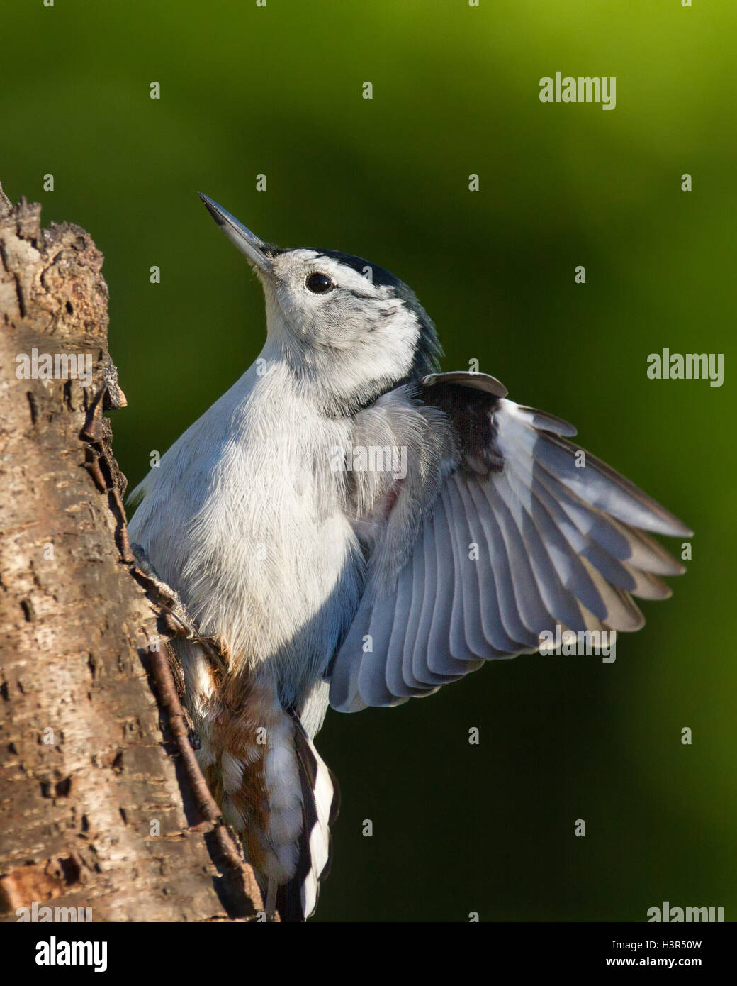 White-breasted nuthatch performing a threat display - Stock Image